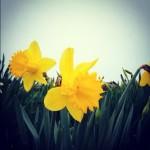 これはダフォデイル。スコットランドにいっぱい咲いていました。