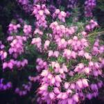 ヒースはスコットランド特有の自生するお花です。かわいい。